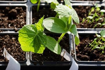 Growing bio vegetables in the shadows in northern Bulgaria