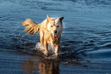 white wolf dog while looking at you from the sea