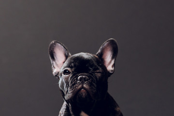 Foto op Aluminium Franse bulldog Close-up Portrait of Funny Smiled French Bulldog Dog and Curiously Looking, Front view, Isolated on black background.