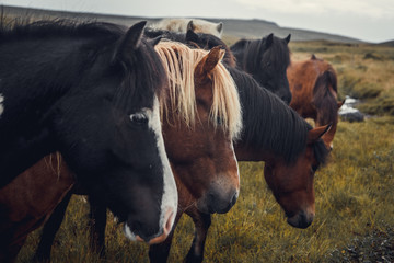 Icelandic horses in the field of scenic nature landscape of Iceland. The Icelandic horse is a breed...