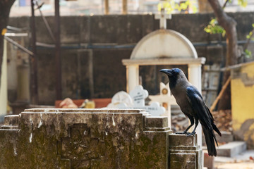 Crow in Cemetery