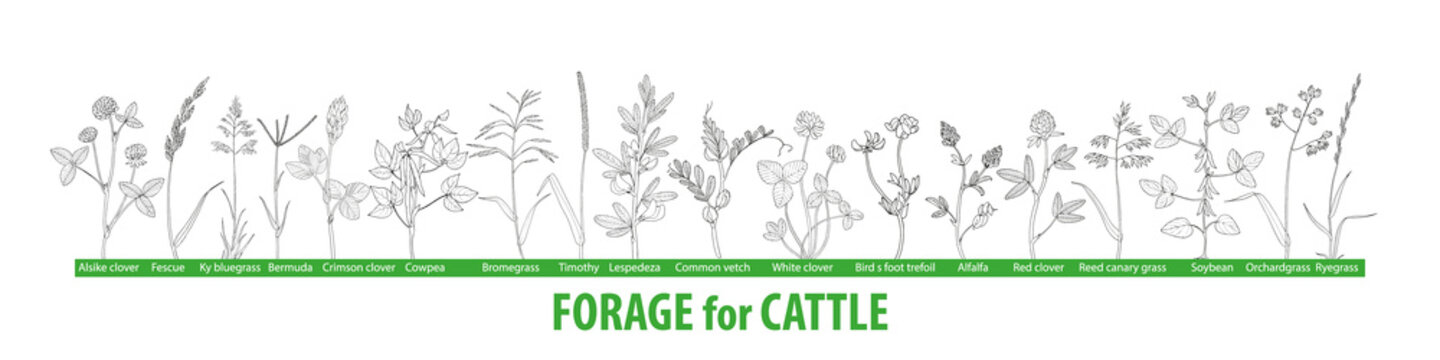 Hand drawn black and white vector  set of illustrations with forage plants for cattle, food for cows.