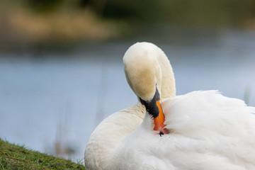 Foto op Plexiglas Zwaan swan on the lake cleaning itself