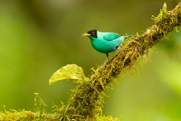 Recess Fitting Bird Green honeycreeper (Chlorophanes spiza) is a small bird in the tanager family. It is found in the tropical New World from southern Mexico south to Brazil, and on Trinidad.