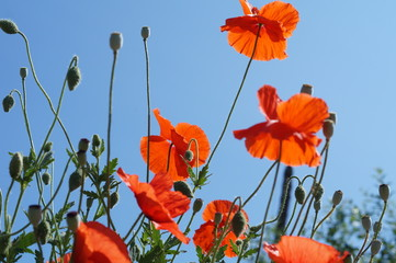 Beautiful red poppy flowers on a blue sky background.Photo.Landscape.