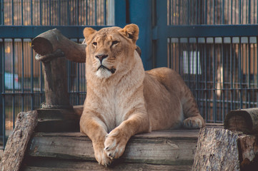 A beautiful lion animal lies on a wooden bridge in the zoo.Photo.