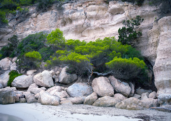 Pine, green conifer tree with flat crown growing on a cliff rocks near the sea