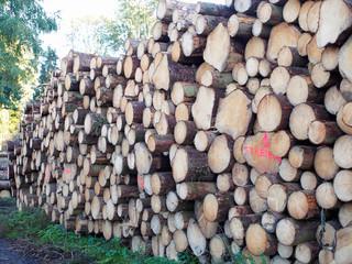 Lagerplatz - gerodete Baumstämme trocknen im Wald