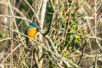Female kingfisher (Alcedo atthis) perched on winter tree branches in St Albans, Hertfordshire, UK