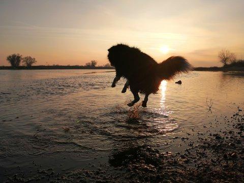 Hund beim Sonnenuntergang springend ins Wasser