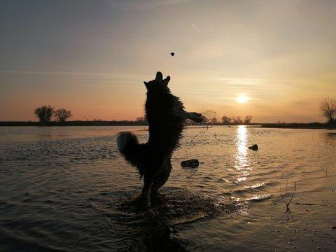 Hund springend beim Sonnenuntergang im Wasser