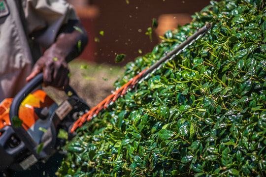 Close up shot of a landscape worker using a hedge trimmer to prune a holly bush