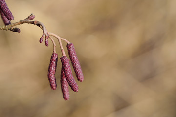 Close-up of a closed alder blossom in winter against a light brown background