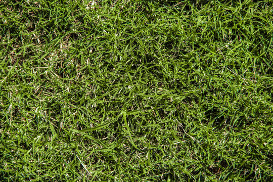 Close up texture shot of green Bermuda turf grass captured from directly above
