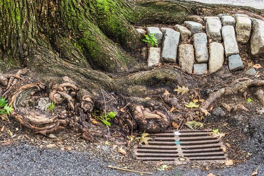 Urban New York City details; tree roots, cobblestone and storm drain seen on Manhattan street