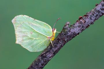 a butterfly - Brimstone, Gonepteryx rhamni