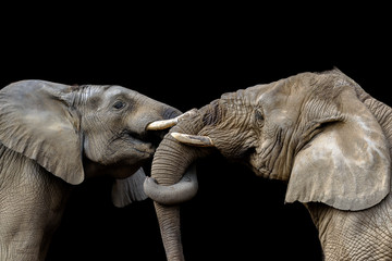 Photo sur Toile Elephant Elephants fighting together