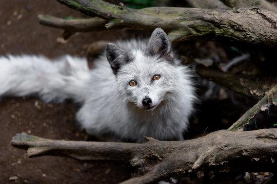 white fox close up