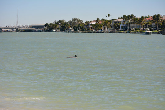 Dolphin swimming in the channel between Longboat and Lido Keys along the tropical gulf coast of Florida