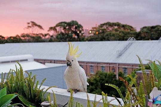 A close up photo of the sulphur-crested cockatoo, Australia
