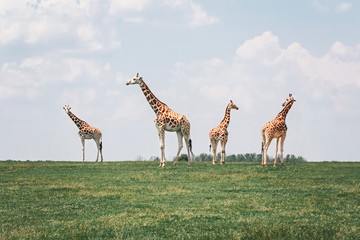Four tall giraffes standing together in savanna park on summer day. Big exotic African animals walking on meadow looking watching around. Beauty in nature. Wild species in their natural habitat.