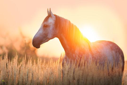 Grey stallion portrait at sunrise light
