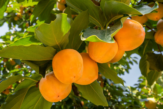 Ripe persimmons close up at Persimmon tree