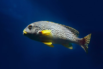Oriental Sweetlip fish (Plectorhinchus vittatus) swimming against the dark water of the Indian Ocean