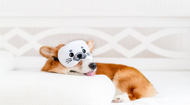 Cute corgi dog laying on the bed in stylish sleeping mask, yawning and showing toungue. Concept healthy sleep and sleep optimization