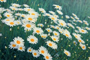 Macro Shot of white daisies in the summer garden.