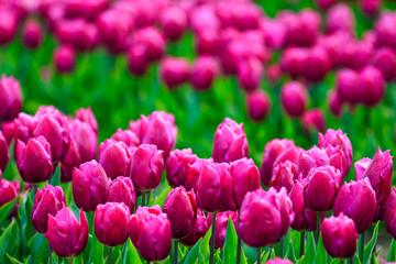 Türaufkleber Rosa colorful Tulips in Japan Toyama