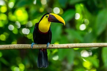 Chestnut-mandibled Toucan (Ramphastos swainsonii) at Carara, Costa Rica. Fototapete