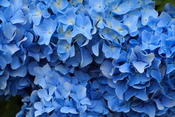 Canvas Prints Hydrangea hydrangea flowers in Japan Toyama
