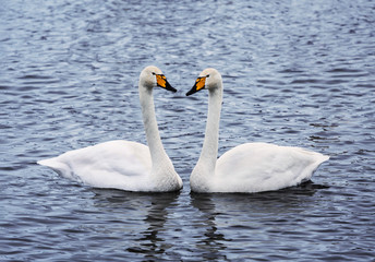 married couple of adult swans on the lake