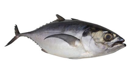 Pacific jack mackerel or Trachurus isolated on white background