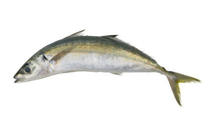 Round scad fish or mackerel scad isolated on white background, Decapterus