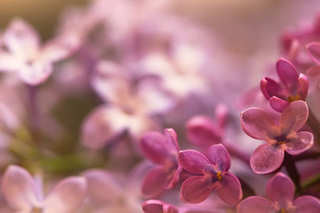 Wall Murals Lilac soft purple lilac flowers in spring, macro view, suitable for floral background