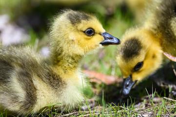 Fototapete - Close Profile of an Adorable Newborn Gosling