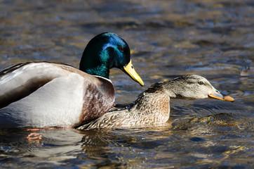 Fototapete - Pair of Mallard Ducks Mating on the Water