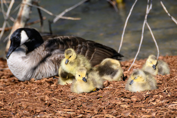 Fototapete - Newborn Goslings Quietly Napping Beside Their Mother