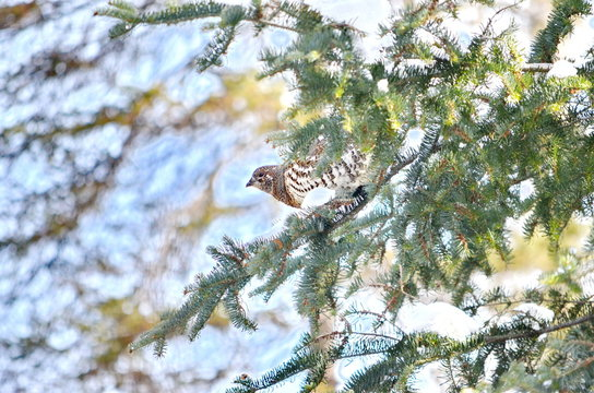 Wild Spruce Grouse perched on a tree limb in winter in Algonquin Park, Ontario, Canada.