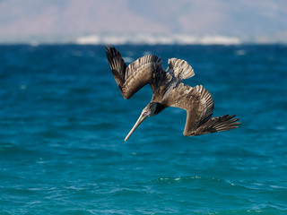Fotoväggar - Brown pelican, Pelecanus occidentalis