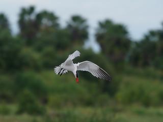 Fotoväggar - Caspian tern, Sterna caspia