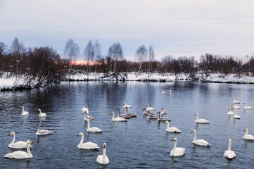 Wild swans wintering on lake Svetloye at sunset. Altai territory. Russia