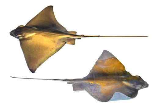 Fresh ray fish isolated on white background