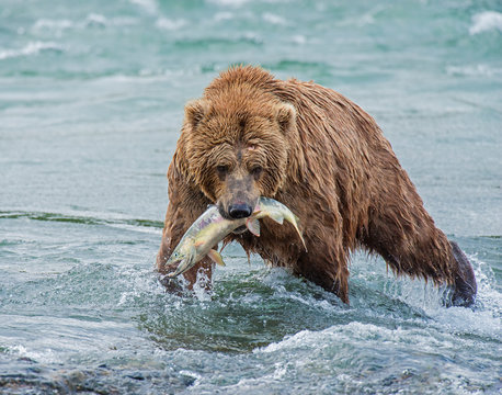 Brown Bear fishing for Salmon at McNeil River, Alaska