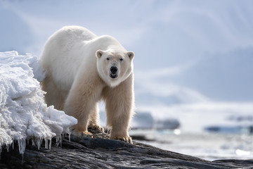 Adult male polar bear standing on a rocky ledge in Svalbard