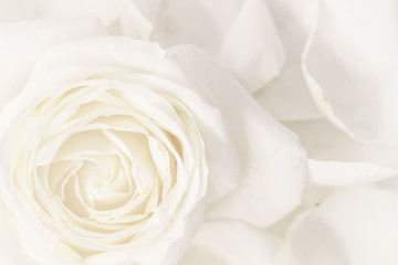 Soft focus, abstract floral background, white rose flower. Macro flowers backdrop for holiday brand design Fototapete