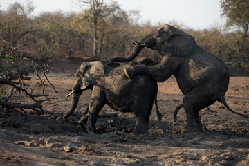 Male and female elephant mating in the muddy ground