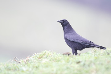 Larrabetzu, Bizkaia/Spain; Feb. 09, 2020. Rainny day in the field. Carrion crow ( Corvus corone) in a field in winter.